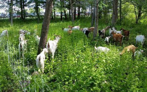 The goats wander through the brush at Penn Elementary.