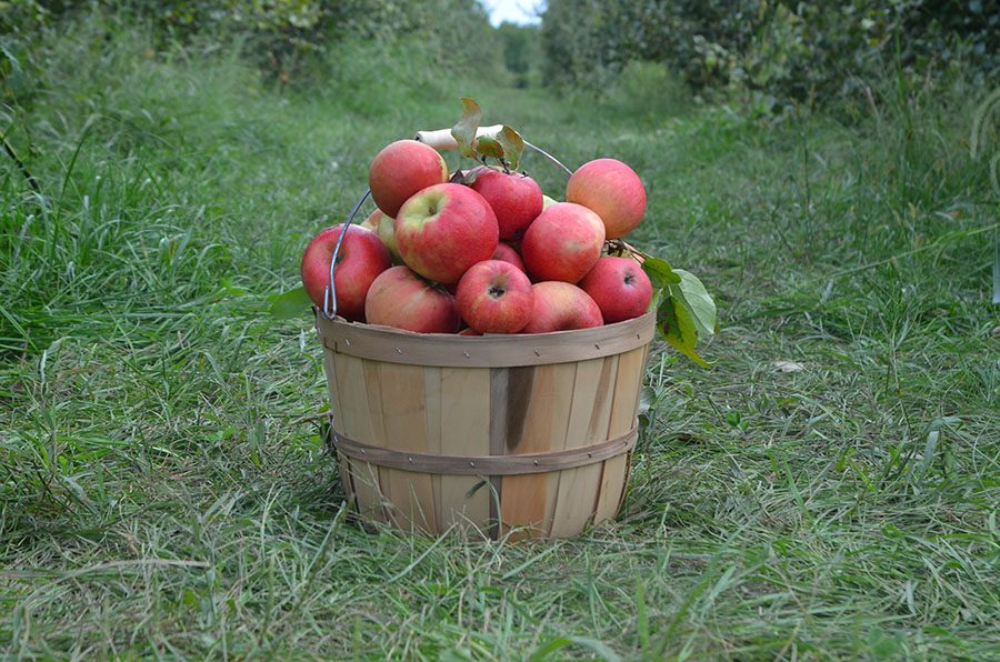 A fresh picked bucket of apples from Wilson's Orchard.