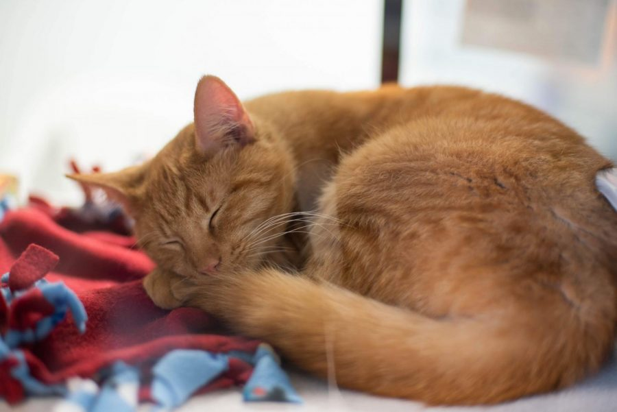 Fuego, a one-year-old cat, sleeps in his bed in the cat area at the Iowa City Animal Shelter.