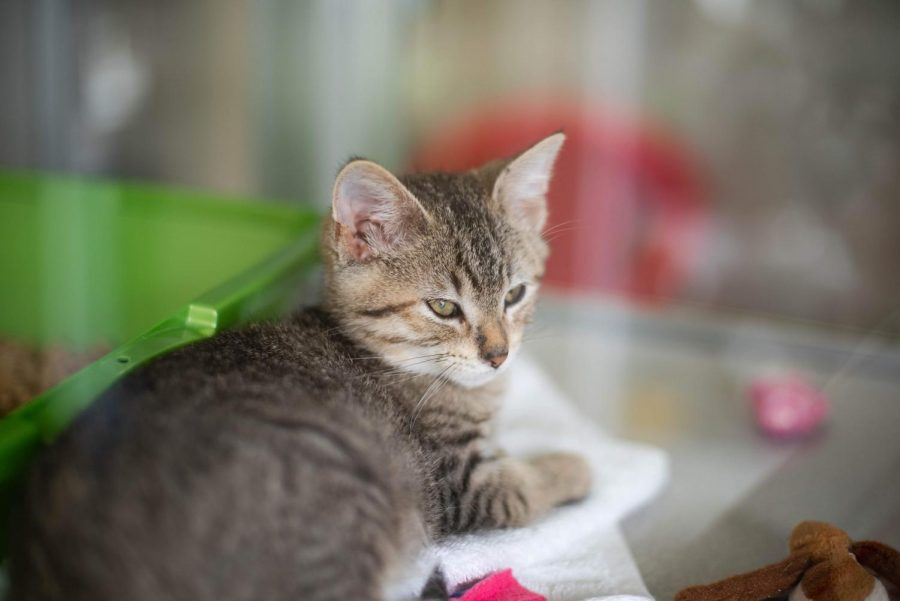 Another of the kittens at the shelter lays in her bed, ready to play at any moment.