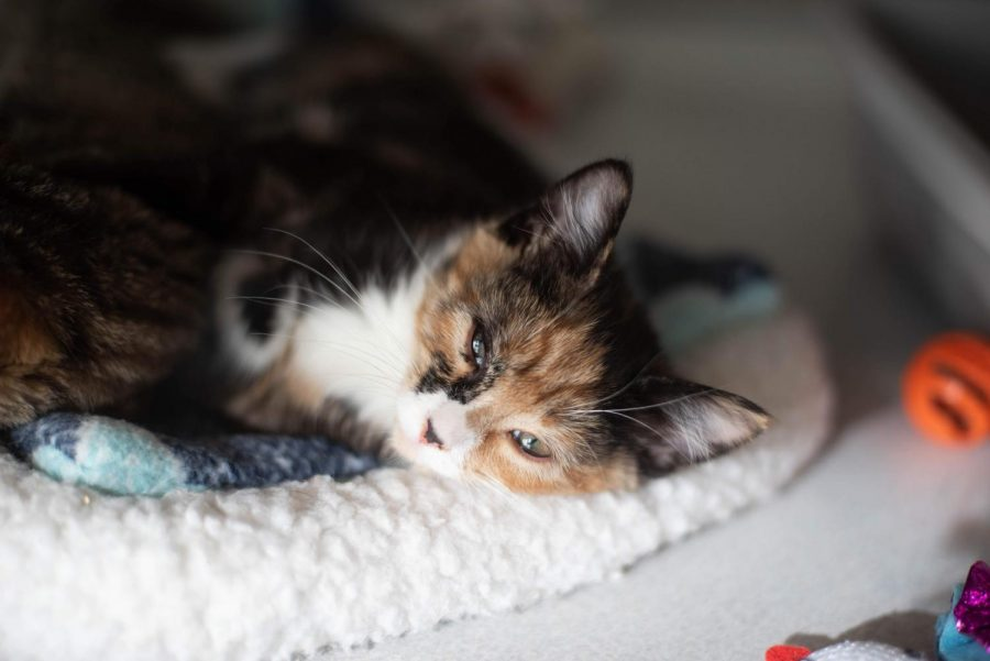 Posie, a young kitten at the Iowa City Animal Shelter, sleeps in a cozy bed.