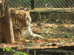 "Photo of a tiger from the popular Netflix series, ""Tiger King""."