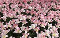 Pink tulips in bloom in Pella, Iowa.
